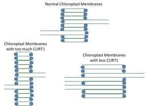 This figure is an adaptation of part of Fig9 from the paper illustrating the trends in thylakoid membrane structure at the indicated amounts of CURT1 proteins