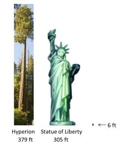Height comparison of Hyperion vs. Statue of Liberty The picture of the coastal redwood is cropped and resized from an original work: The Simpson-Reed Grove of Coast redwoods (Sequoia sempervirens) by Acroterion, October 1 2009.