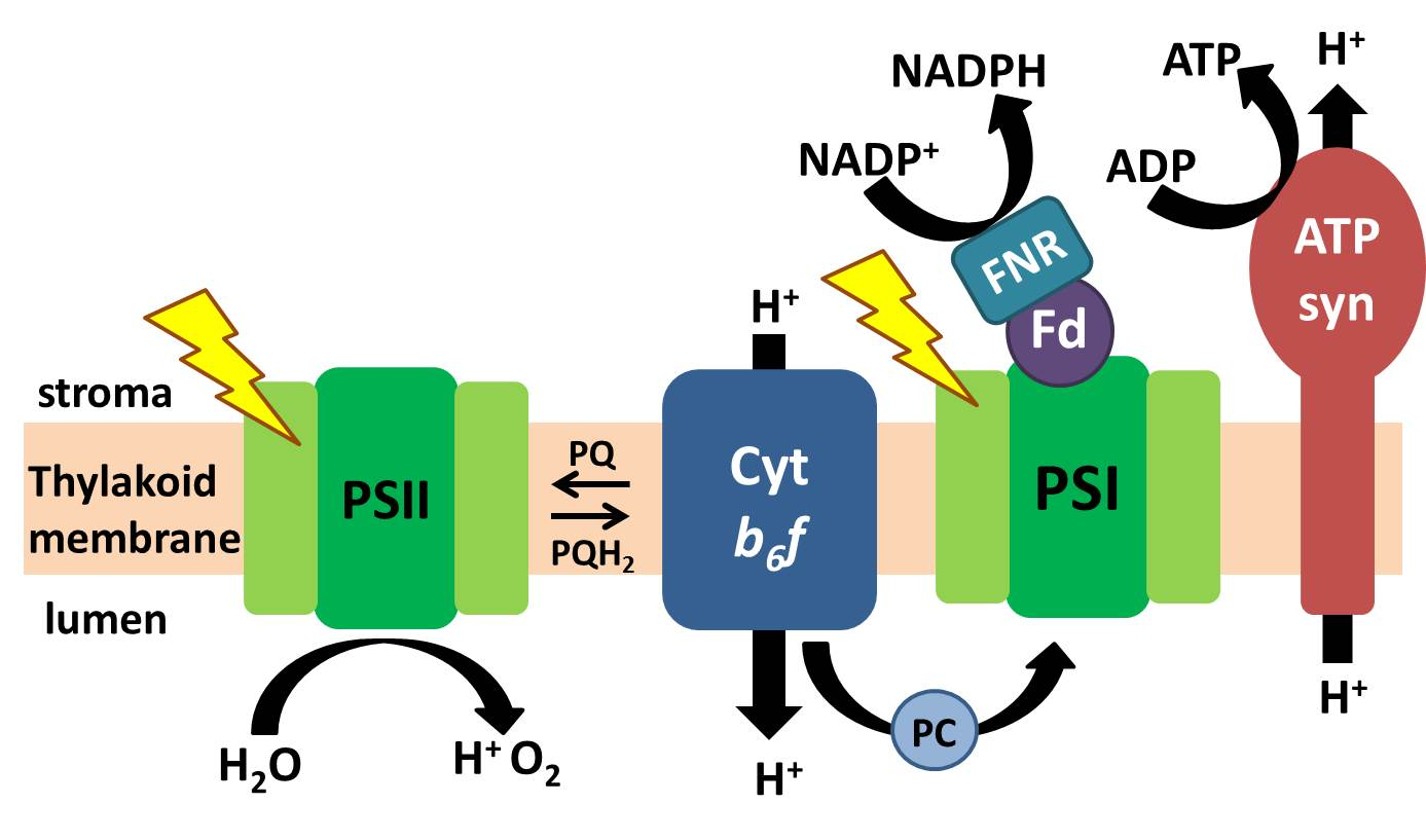 photosynthesis light reaction steps