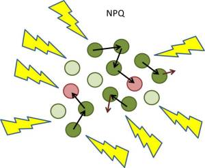 NPQ pathways prevent excess light energy from getting to the photosystems by modifying antenna function.