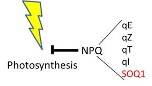 NPQ pathways (listed on the right) siphon excess light energy away from photosynthesis.