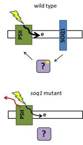 wild type: SOQ1 (blue) normally donates electrons to unknown targets in the lumen (purple) allowing for maximal photosynthesis.  soq1: When SOQ is absent, lumenal targets become oxidized causing some light energy to be dissipated (red arrow) instead of funneling into photosynthesis.