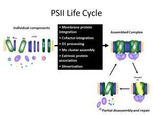 PSII Life Cycle