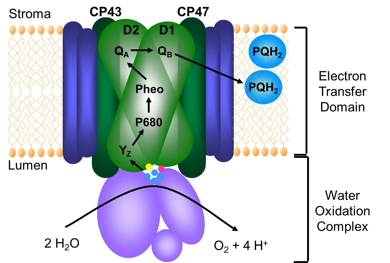 photosystem does for photosythesis That leaves (sorry) only 2% of the incident radiation to be trapped and used in photosynthesis photosystem i also traps light energy, and uses it to.