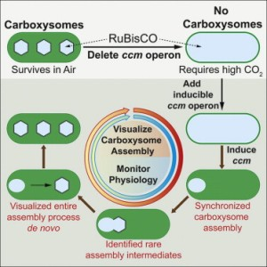 Graphical Abstract Cameron et al 2013 Cell Biogenesis of a Bacterial Organelle: The Carboxysome Assembly Pathway