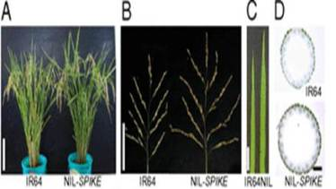 Characterization of yield-related traits of a NIL for SPIKE. (A) Plant morphologies. (B) Panicle structures. (C) Flag leaves. (D) Cross-sections of panicle neck. (Scale bars: A, 20 cm; B, 10 cm; C, 5 cm; D, 500 µm.)