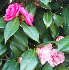 BrokenCamellias