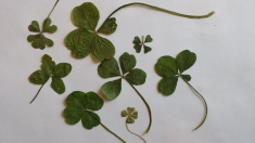More four-leaf clovers Credit: Kristie Phillips