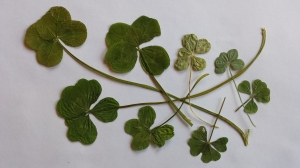 Five-leaf clovers Credit: Kristie Phillips