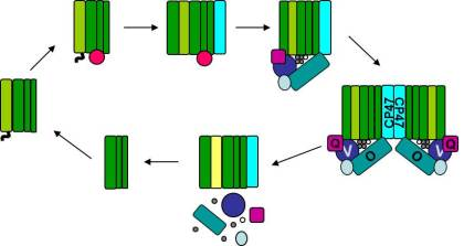 The PSII subunits are colored as follows, D1 (light green); D2, Cyt b559, CP43 (dark green); CP47 (cyan); Psb27 (pink); PsbO (teal); PsbV (dark blue); PsbU (light blue); PsbQ (purple); and damaged D1 (yellow).  The top half of the cycle represents steps in the synthesis half of the pathway resulting in fully assembled dimers on the far right, and the bottom half of the cycle shows the disassembly of the complex and removal of the damaged D1 protein.