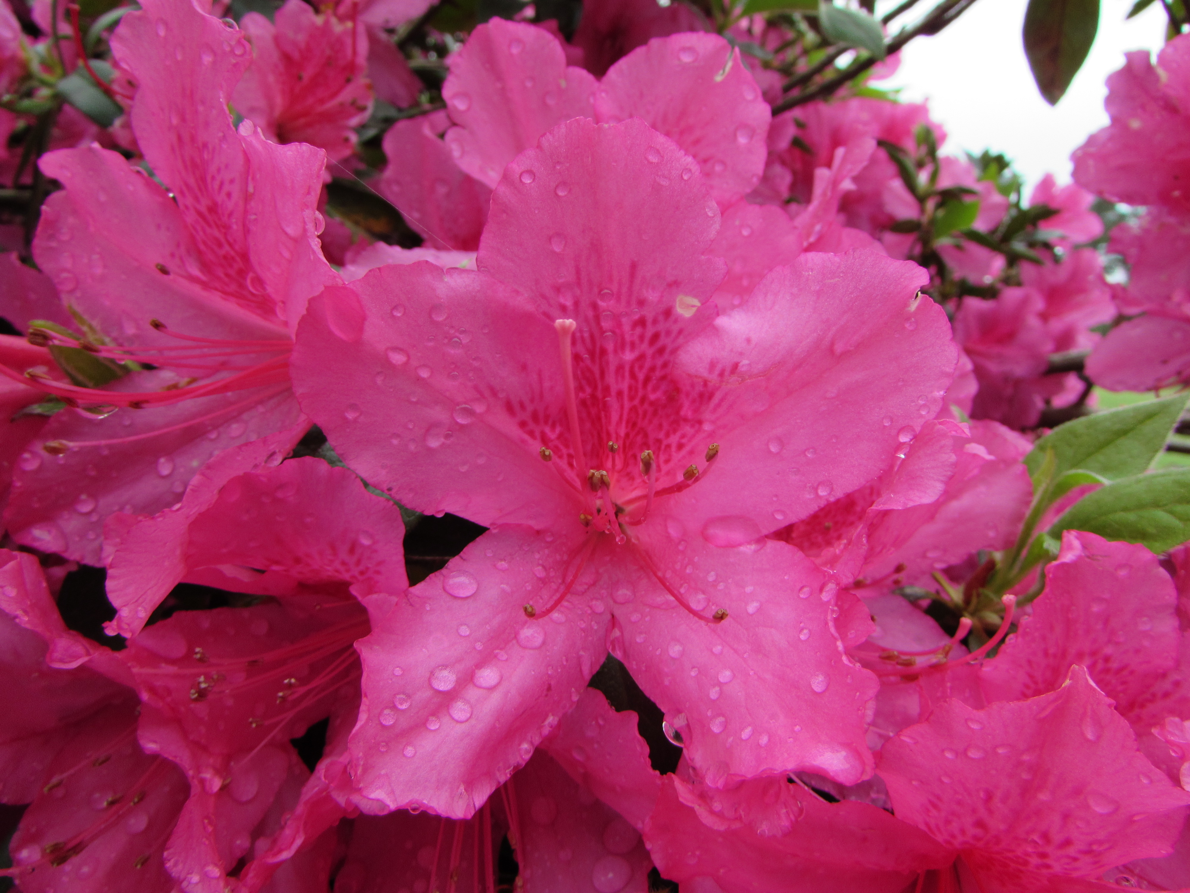 Azaleas Announce Spring And Maybe Summer And Fall New