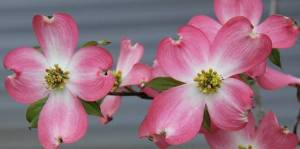 Pink dogwood Photo credit: Bridget Campbell