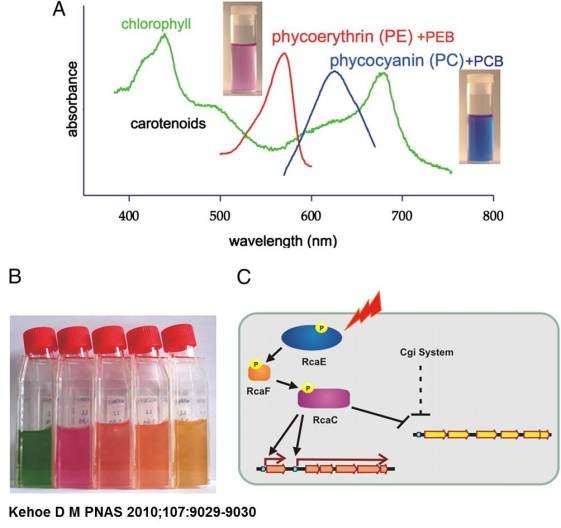 Phycobiliproteins, bilin variation, and group III CA regulation. (A) Phycocyanin and phycoerythrin (blue and red lines, and in vials) absorb in regions of the visible spectrum not well absorbed by chlorophyll or carotenoids. Attached bilins: PEB, phycoerythrobilin; PCB, phycocyanobilin. (B) Natural diversity in coloration of many different cyanobacterial species due to variation in their bilin content [photograph by Christophe Six. Reproduced with permission from Six et al. (2007) (Copyright 2010, Biomed Central Ltd.)]. (C) Group III CA regulation model for F. diplosiphon in red light, showing the asymmetric regulation of red-light active genes (orange) and green-light active genes (yellow) by the Rca and Cgi systems. Dashed line represents proposed repression by the Cgi system; yellow balls, phosphoryl groups; blue boxes, RcaC binding sites.