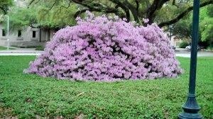 Azaleas under stately oaks at LSU
