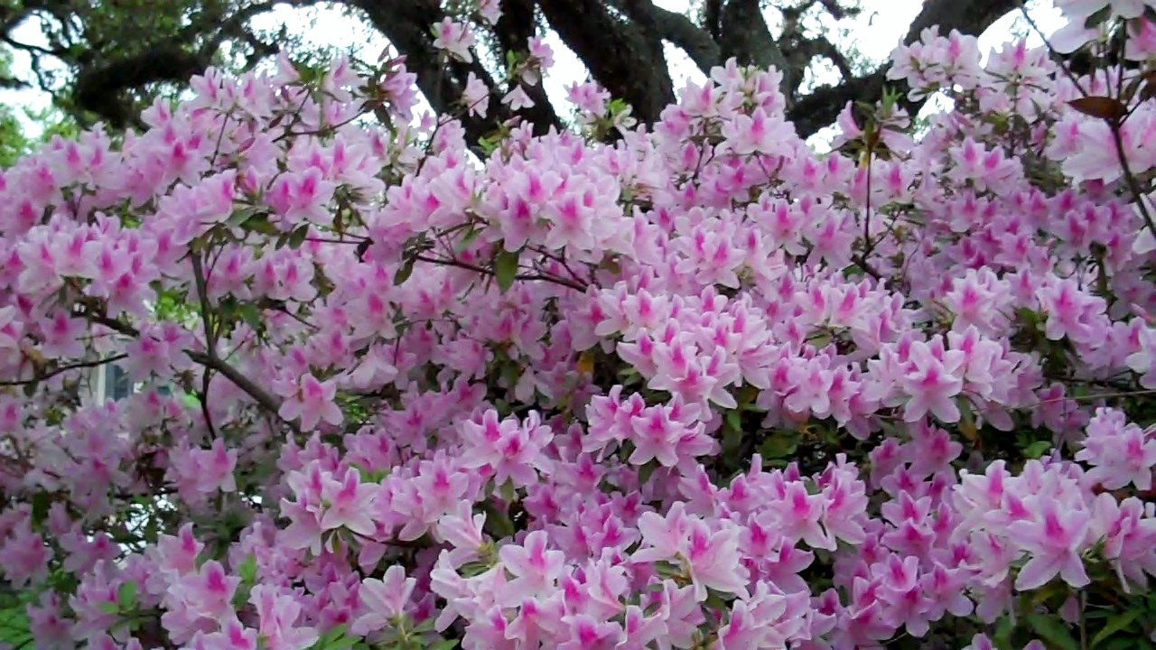 Azaleas announce spring and maybe summer and fall new under the sun blog - Care azaleas keep years ...