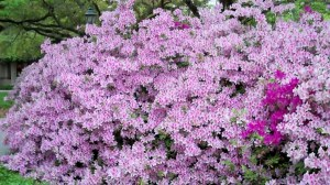 George Lindley Tabor Azalea at LSU