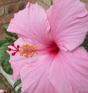 Pink Hibiscus Credit: Johnna Roose