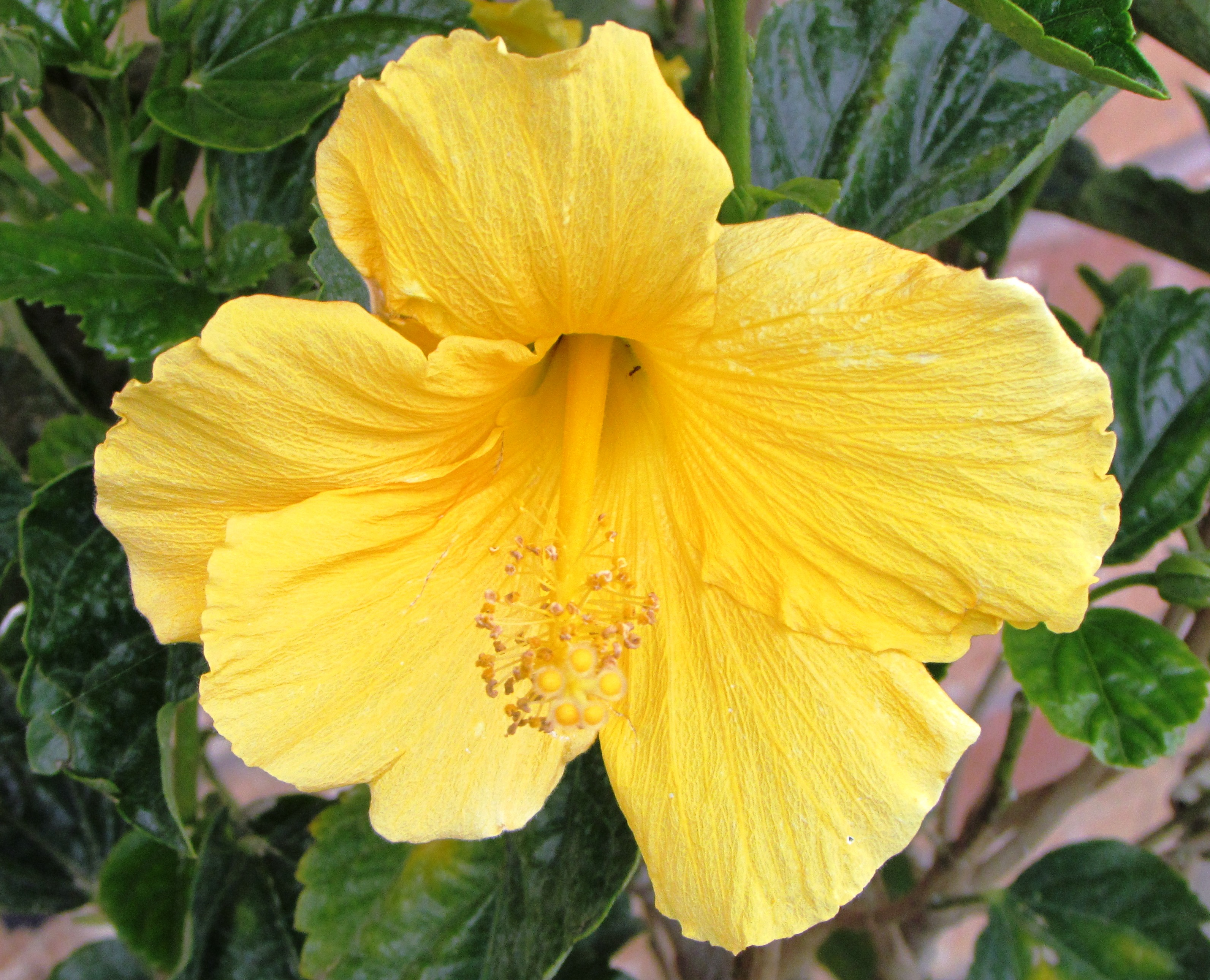 Hibiscus new under the sun blog yellow hibiscus credit johnna roose izmirmasajfo Image collections