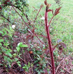 Dewberry canes