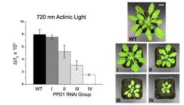 PSI activity in PPD1 RNAi plants and representative plants from each group I-IV