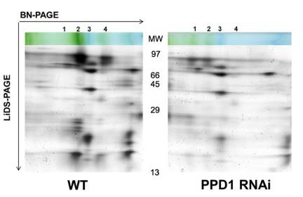 2D gels showing thylakoid protein complexes in WT and PPD1 RNAi mutant. 1,2,4 complexes are forms of PSI; 3 is ATP synthase