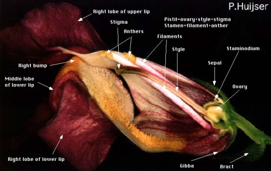 Snapdragon flower anatomy