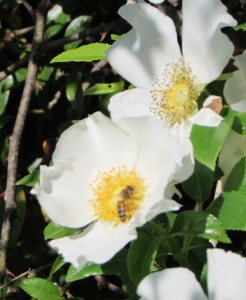 Cherokee Rose Bee