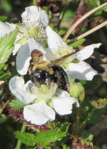 Carpenter Bee on Blackberry flower
