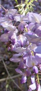 Wisteria bee