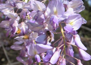 Wisteria Bees